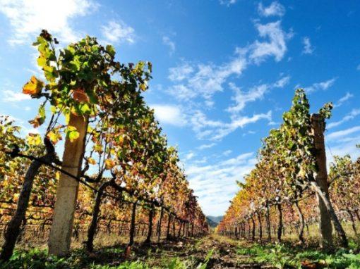 I vitigni resistenti e le nuove frontiere per il breeding: il momento zero di una possibile nuova tradizione?